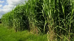 Switch grass Stock Footage