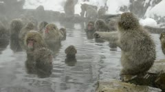 Group of snow monkeys relaxing in a natural hot-spring, Jigokudani, Nagano Japan Stock Footage