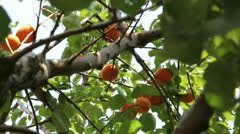 Apricot Stock Footage