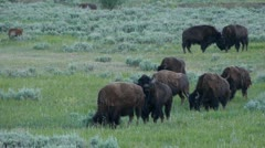 Bison Herd In Lamar Valley Stock Footage