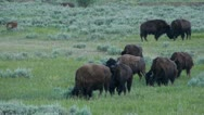 Stock Video Footage of Bison Herd In Lamar Valley