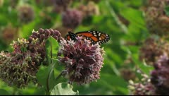 Monarch Butterfly on Common Milkweed Stock Footage
