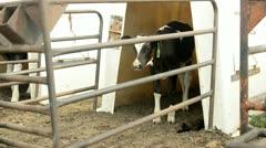 Farming Cows Stock Footage