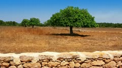 Agriculture in Mediterranean of fig tree in red soil island  Ibiza Stock Footage
