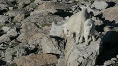 Rocky Mountain Goat Kids - stock footage