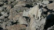 Rocky Mountain Goat Kids Stock Footage