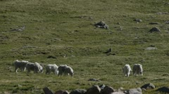 Rocky Mountain Goats Grazing Stock Footage