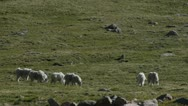 Stock Video Footage of Rocky Mountain Goats Grazing