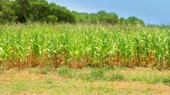 Vivid corn field with pines in background Stock Footage