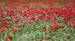 Poppy field in Tuscany Stock Footage