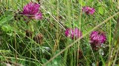 Clover - Trifolium pratense - stock footage