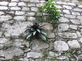 Stock Photo of Ek Balam,Plants growing in Pyramid , Mayan Ruins, Yucatan, Mexico