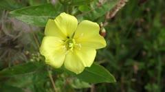 Evening primrose - Oenothera biennis Stock Footage