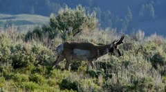 Stock Video Footage of Pronghorn In Yellowstone