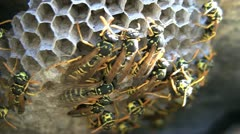 Paper Wasps On Nest Stock Footage