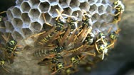 Stock Video Footage of Paper Wasps On Nest