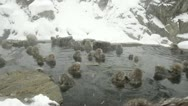 Stock Video Footage of Group of snow monkeys relaxing in a natural hot-spring, Jigokudani, Nagano Japan