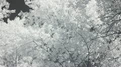 Infrared flora: leaves of a trees 1 Stock Footage