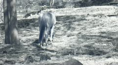Infrared fauna: horse eats grass in a paddock 1 Stock Footage