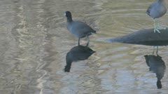 American coots2 Stock Footage