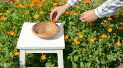 Calendula blossoms harvest in the summer garden Stock Footage