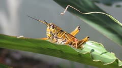 Large Southeastern Lubber Grasshopper on a Leaf Stock Footage