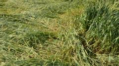 Flatten wheats field after summer storm Stock Footage