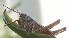 Large Grasshopper on a leaf Stock Footage