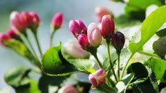 Apple tree buds in spring - stock footage