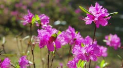 Daurian rhododendron, Labrador tea (Rhododendron dauricum) with vibrant flowers - stock footage