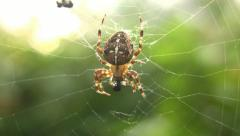Closeup of a Spider eating a Fly Stock Footage