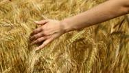 Stock Video Footage of Hand and wheat (HD 1080)