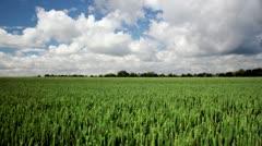 Wheat ripening - stock footage