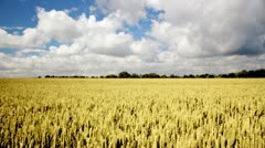 Tracking timelapse of ripe wheat Stock Footage