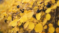 Stock Video Footage of Yellow autumn leaves, narrow dept of field