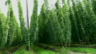 Stock Video Footage of Field of Hops