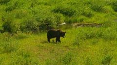 Grizzly walking across meadow - stock footage