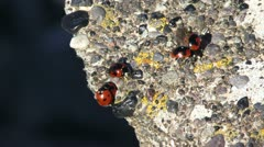 Ladybirds on a rock mating Stock Footage