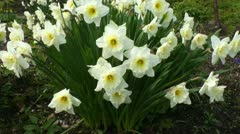 Blooming narcissus flowers in a field 4 Stock Footage