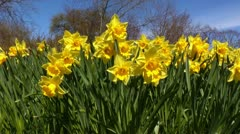 Blooming narcissus flowers in a field 3 Stock Footage