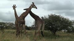 Three giraffes necking Stock Footage