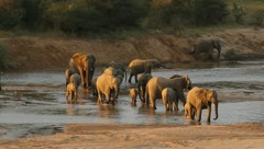 Elephants crossing a river in African game reserve Stock Footage