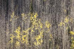 Aspen forest late autumn yellow colors Stock Photos