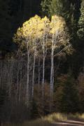 Autumn golden yellow leaves aspen trees forest Stock Photos