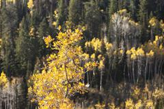 Oak tree yellow autumn leaves mountain forest - stock photo