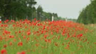 Stock Video Footage of Roadside poppies