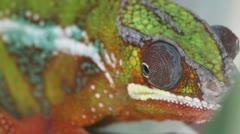 Chameleon Stock Footage