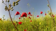 Stock Video Footage of Red poppies on sky background
