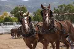 Draft work pull horses at rodeo arena - stock photo