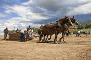 Stock Photo of Horse draft team pull competition country fair